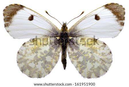 Female Orange Tip butterfly (Anthocharis cardamines) isolated on white background - stock photo