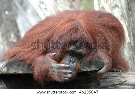 Female Orangutan Closing Her Mouth with Hand