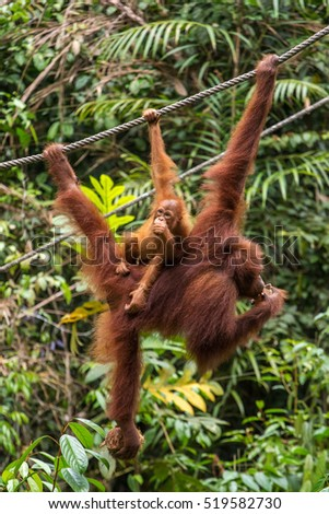 Female orangutan hanging with a baby on the rope in Semenggoh Nature Reserve, Sarawak, Borneo, Malaysia