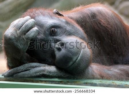 Female orangutan looks thoughtfully through the glass in the zoo - stock photo