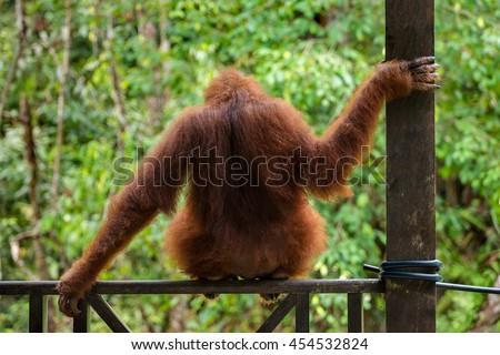 Female orangutan sitting on the fence in Semenggoh Nature Reserve, Sarawak, Borneo, Malaysia - stock photo