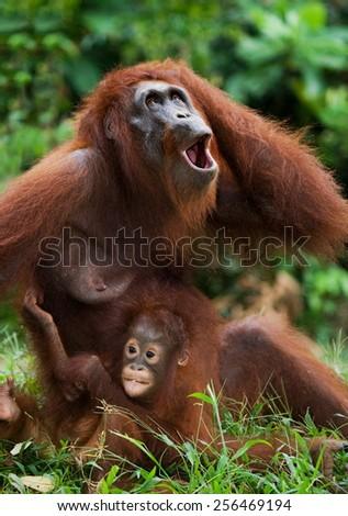 Female orangutan with a cub. Indonesia. Borneo. - stock photo
