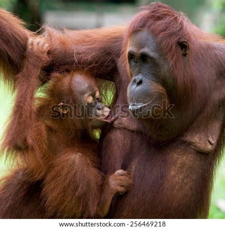 Female orangutan with a cub. Very similar to humans. Indonesia. Borneo. - stock photo