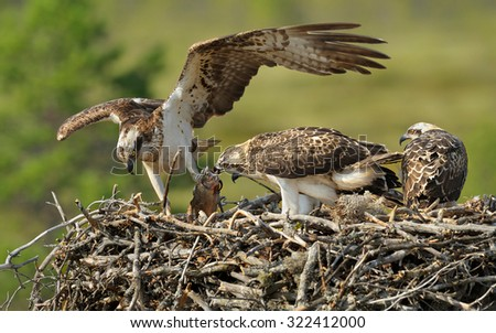 Female Osprey brought the fish for young osprey birds - stock photo