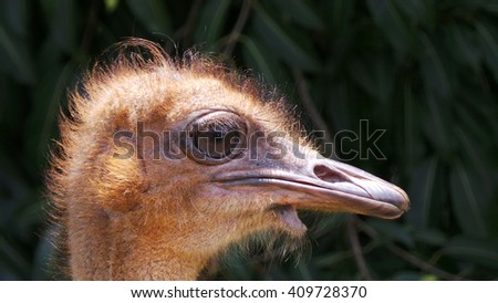 Female Ostrich - stock photo