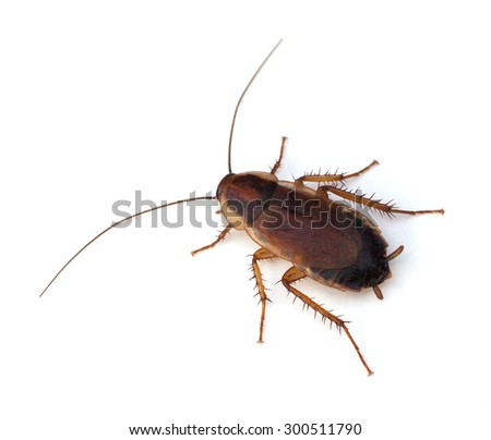 Female Pennsylvania�Wood Cockroach (Parcoblatta�pennsylvanica) on a white background - stock photo