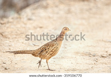 Female pheasant trying to cross a country road, in sunset lights