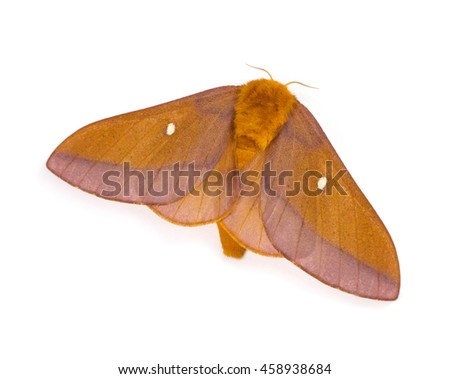 Female Pink-striped Oakworm Moth (Anisota virginiensis) isolated on a white background - stock photo