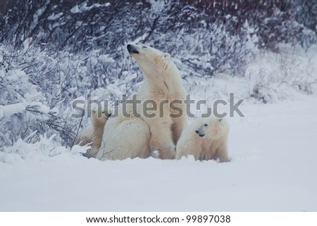 Female polar bear and her two cubs in the wild - stock photo