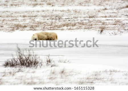 female polar bear laying down on snow covered ice near Churchill Manitoba - stock photo