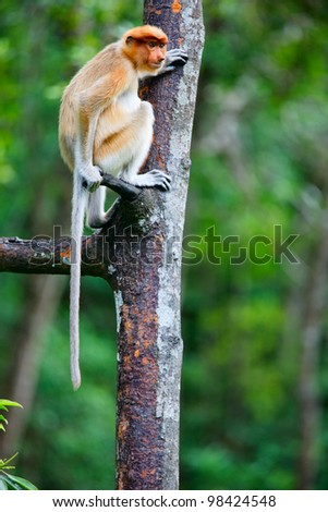 Female proboscis monkey in a wild on Borneo island in Malaysia