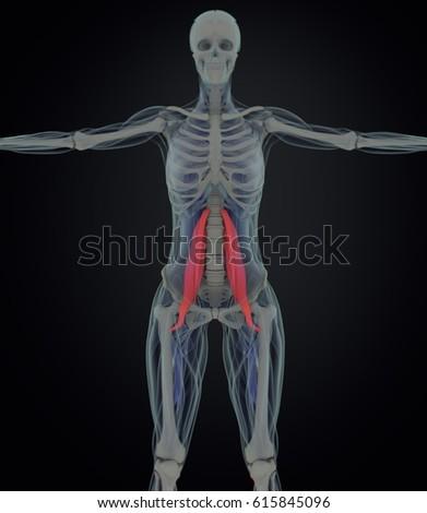 Female Psoas Muscle Soul Muscle Human Stockillustration 615845096 ...