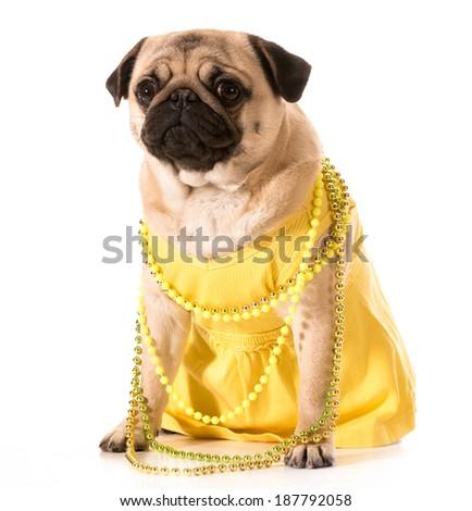 female pug wearing yellow sundress and beads isolated on white background - stock photo