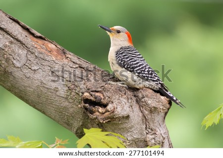 Female red bellied woodpecker on tree limb. - stock photo