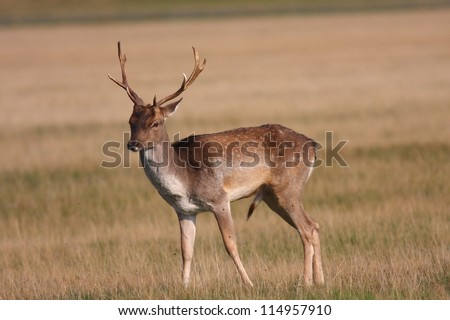 Female red deer (Cervus Elaphus) photo taken at Richmond Park London England. The red deer is the UK's largest resident deer.  The Autumn rut is a top British wildlife spectacle. - stock photo