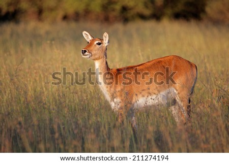 Female red lechwe antelope (Kobus leche) in tall grass, southern Africa - stock photo