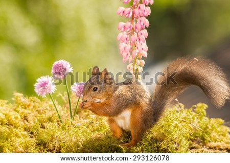 female red squirrel standing in front of a lupine