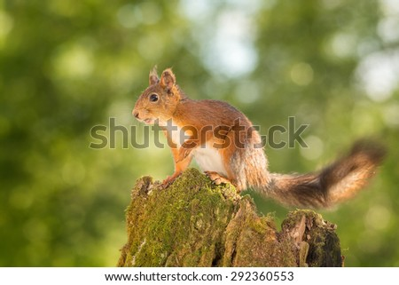 female red squirrel standing on a tree trunk with moss