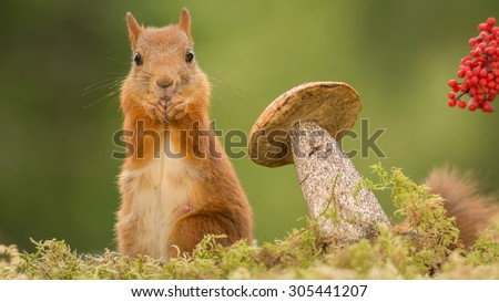 female red squirrel standing with mushroom