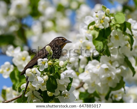 Female Red-winged Blackbird Feasting on Crab Apple Blossoms in Spring