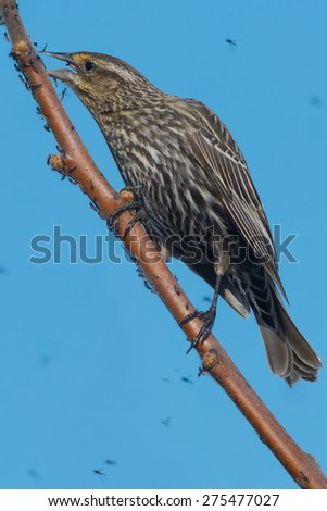 Female Red-winged Blackbird perched on a branch covered with midges.