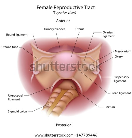 Female Reproductive Organs Superior View Stock Illustration ...