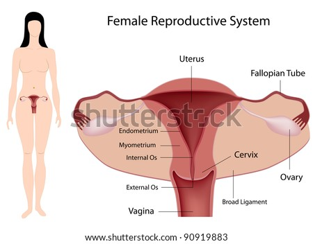 female reproductive system stock images, royalty-free images, Skeleton