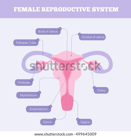 Female Reproductive System Flat Info Graphic Stock Illustration ...