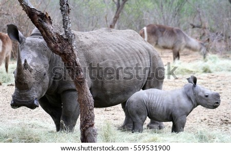 Female rhino with her baby rhino in the Savanna  South Africa