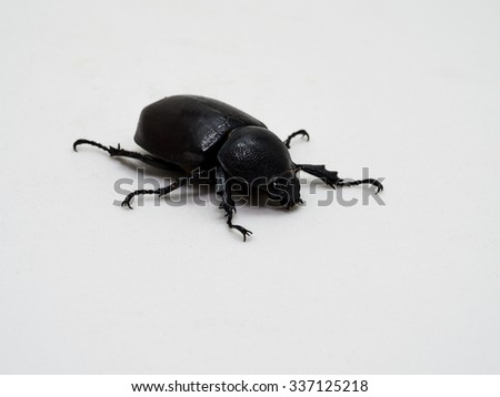 Female Rhinoceros beetle, Rhino beetle, Hercules beetle, Unicorn beetle, Horn beetle