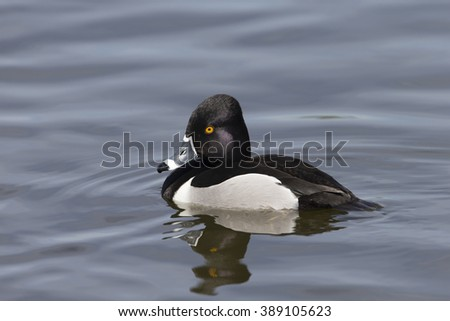 Female Ring-necked Duck swimming on lake