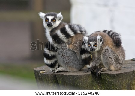 Female ring tailed lemur with her young baby sitting on a wooden tree stump. Latin name Lemuriformes. - stock photo