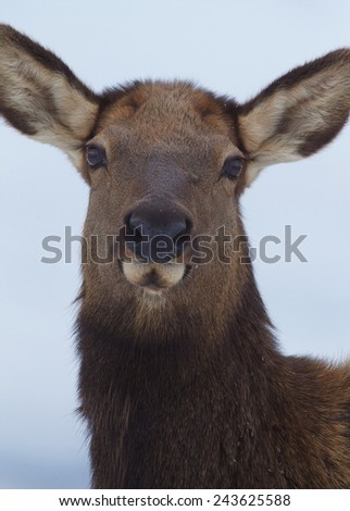 Female Rocky Mountain Elk, Cervus canadensis, close up highly detailed portrait / headshot isolated against a natural background (selective focus on the eyes; nose & ears tastefully out of focus) - stock photo