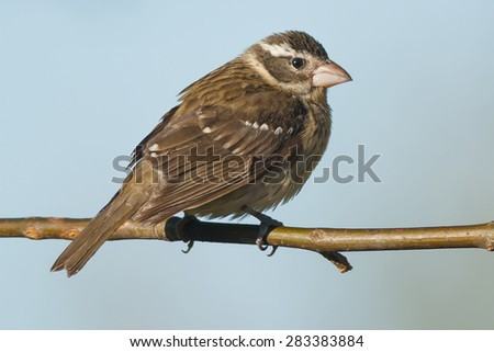 Female Rose-breasted Grosbeak perched on a branch.