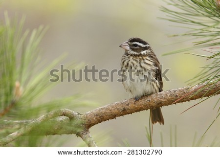 Female Rose-breasted Grosbeak (Pheucticus ludovicianus) perched in a red pine tree in spring - Grand Bend, Ontario, Canada - stock photo