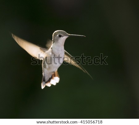 Female ruby-throated hummingbird (Archilochus colubris) flying at early morning against sunlight, Galveston, Texas, USA.