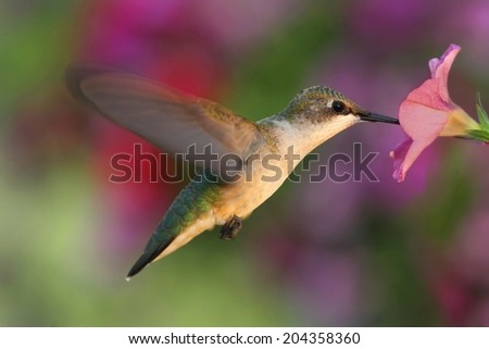 Female Ruby-throated Hummingbird (archilochus colubris) in flight at a flower with a colorful background - stock photo
