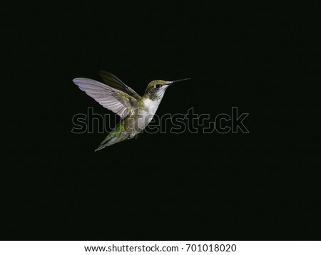 Female Ruby-throated Hummingbird in Flight on Dark Green Background