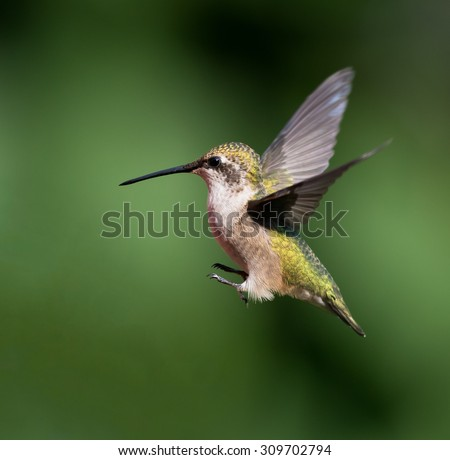 Female Ruby-throated Hummingbird in Flight on Green Background