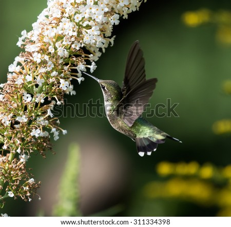 Female Ruby-throated Hummingbird on Green Background - stock photo