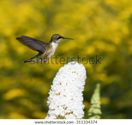 Female Ruby-throated Hummingbird on Yellow Background - stock photo
