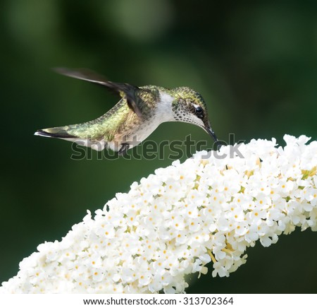 Female Ruby-throated Hummingbird sipping nectar from the white flower on green background - stock photo
