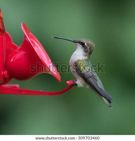 Female Ruby-throated Hummingbird Sitting on the Feeder - stock photo