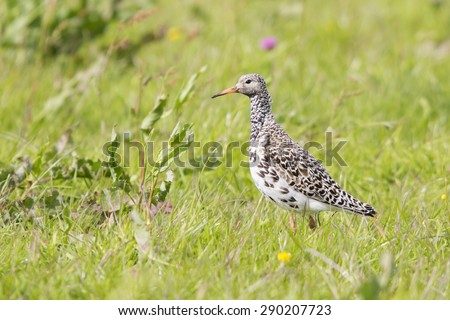 Female ruff (Philomachus pugnax) on grassland in Eemnes (the Netherlands)
