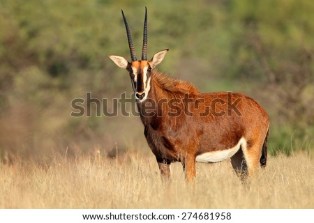 Female sable antelope (Hippotragus niger) in natural habitat, South Africa - stock photo