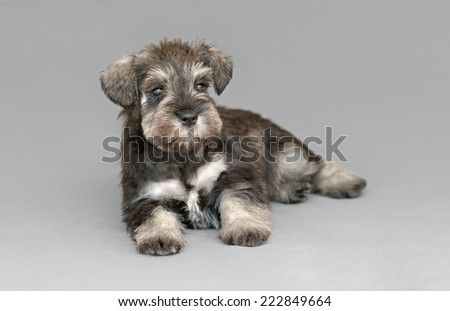 Female salt and pepper miniature schnauzer puppy - stock photo