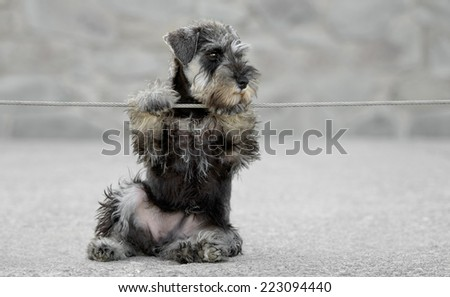 Female salt and pepper miniature schnauzer puppy outdoors playing with a cable - stock photo