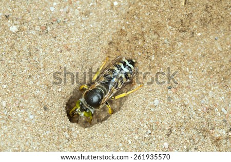 Female Sand Wasp, Bembix rostrata digging in sand - stock photo