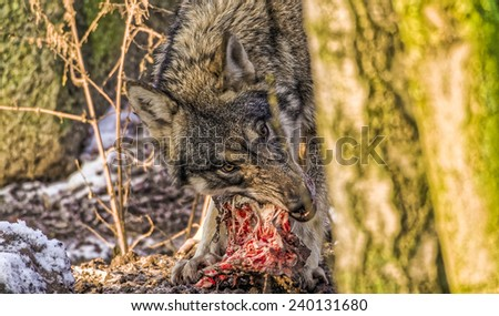 Female Scandinavian gray wolf tearing meat off a a spine during with low sunlight shining through winter forest - stock photo