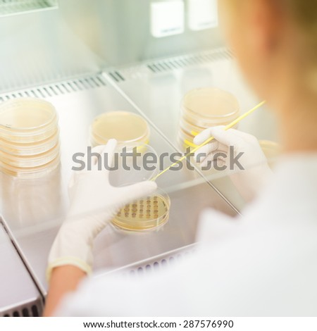 Female scientist researching in laboratory, pipetting cell culture samples on LB agar medium in laminar flow. Life science professional grafting bacteria in the petri dishes.  - stock photo